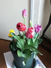 Tulippu411_