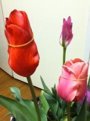 Tulippu411_2